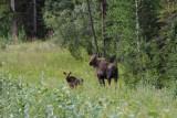 1. Mama Moose met jong