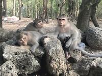Angkor Wat Monkey's