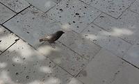 Klein propperig vogeltje zonder staartje