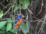 The blue-eared Kingfisher