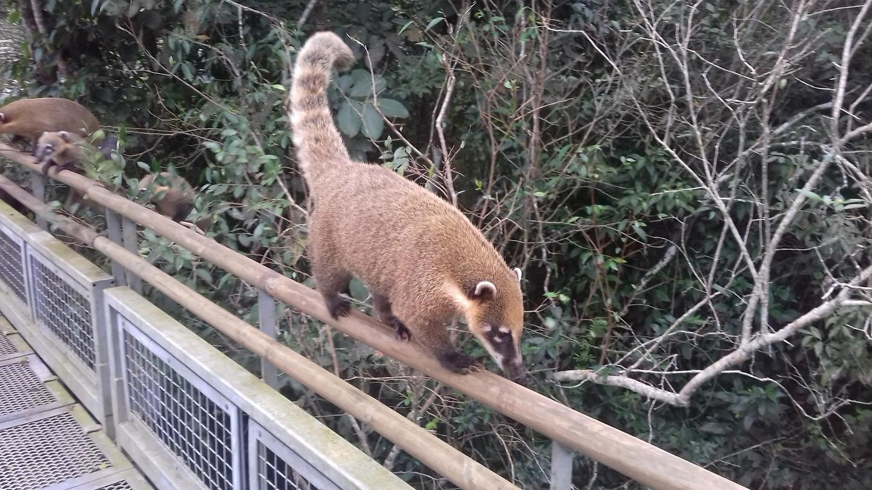 De coati's komen uit het bos. Oppassen!!! 😊
