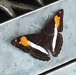 Eén van de talloze vlinders.