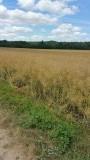 gouuud gele graanvelden