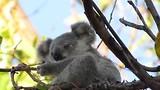8 Maanden jonge Koala gaat eten.