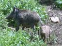 Moeder en zoon everzwijn