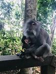 In het Monkey Forrest in Ubud