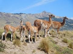 Guanaco's, de lama's van Patagonie