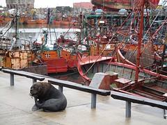 Zeeleeuw in de haven van Mar del Plata