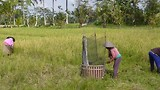 14 augustus - Rijst oogsten duurt lang