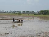 1 december - het land wordt geëgaliseerd voordat de nieuwe rijst geplant wordt
