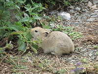 Schattige Pika-boo in Yol valley