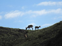 Ibex gespot