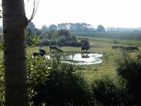 Zwarte runderen bij een plasje