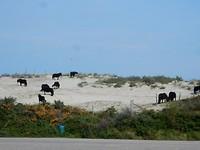 Paarden in het zand aan het grazen ?