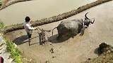 Buffels in de rijstvelden