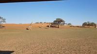 Giraffen in de rode zandduinen