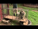 Stichting AAP: Lucky's vrijlating vanuit Lilongwe Wildlife Center