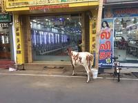 Luxe koeien