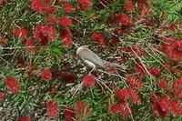 Noisy frairbirds die als wekker dienst deden