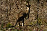 gewoon, een kangoeroe