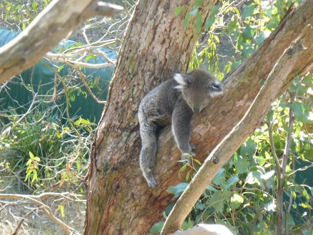Slapende Koala Foto Kia Ora Reislogger Nl S Reisblog