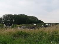 De koeien genieten hier