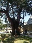 Sequoia boom