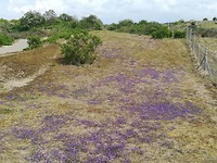 Wilde viooltjes