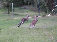 wegspringende kangoeroes bij de camping