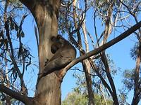 semi wilde koala in het koala conservation centre