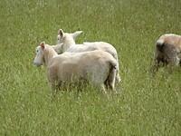schaapjes in de wei
