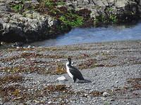 Watervogel... bonte aalscholver