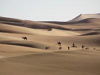 Kamelen in de achtertuin van het hotel