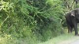 Sigiriya - Olifant op de weg!