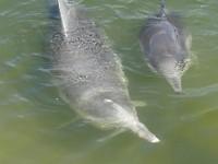 Dolfijnen Tin Can Bay