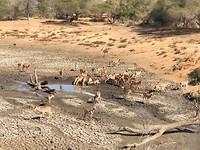 Impala's bij een drinkplaats