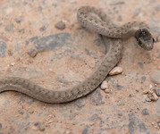Gewond slangetje gevonden