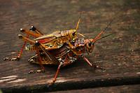 Southeastern Lubber Grasshopper en dat 2x en over een tijdje misschien nog wel meer...