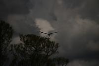 Osprey met een catch