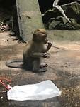 Little makaak