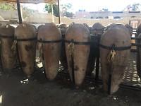 342 Pisco wijnvaten zijn van steen bij gebrek aan hout