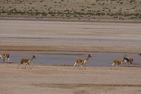 362 vicuña's bij het water op de hoogvlakte