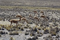 363 nog meer mooie vicuña's