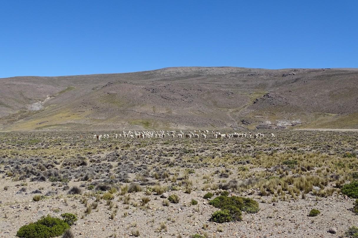 364 kudde lama's op de hoogvlakte