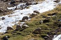 365 ook schapen op de altiplano