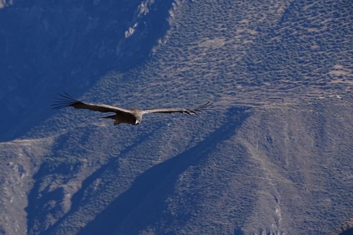372 wauw een jonge condor stijgt op