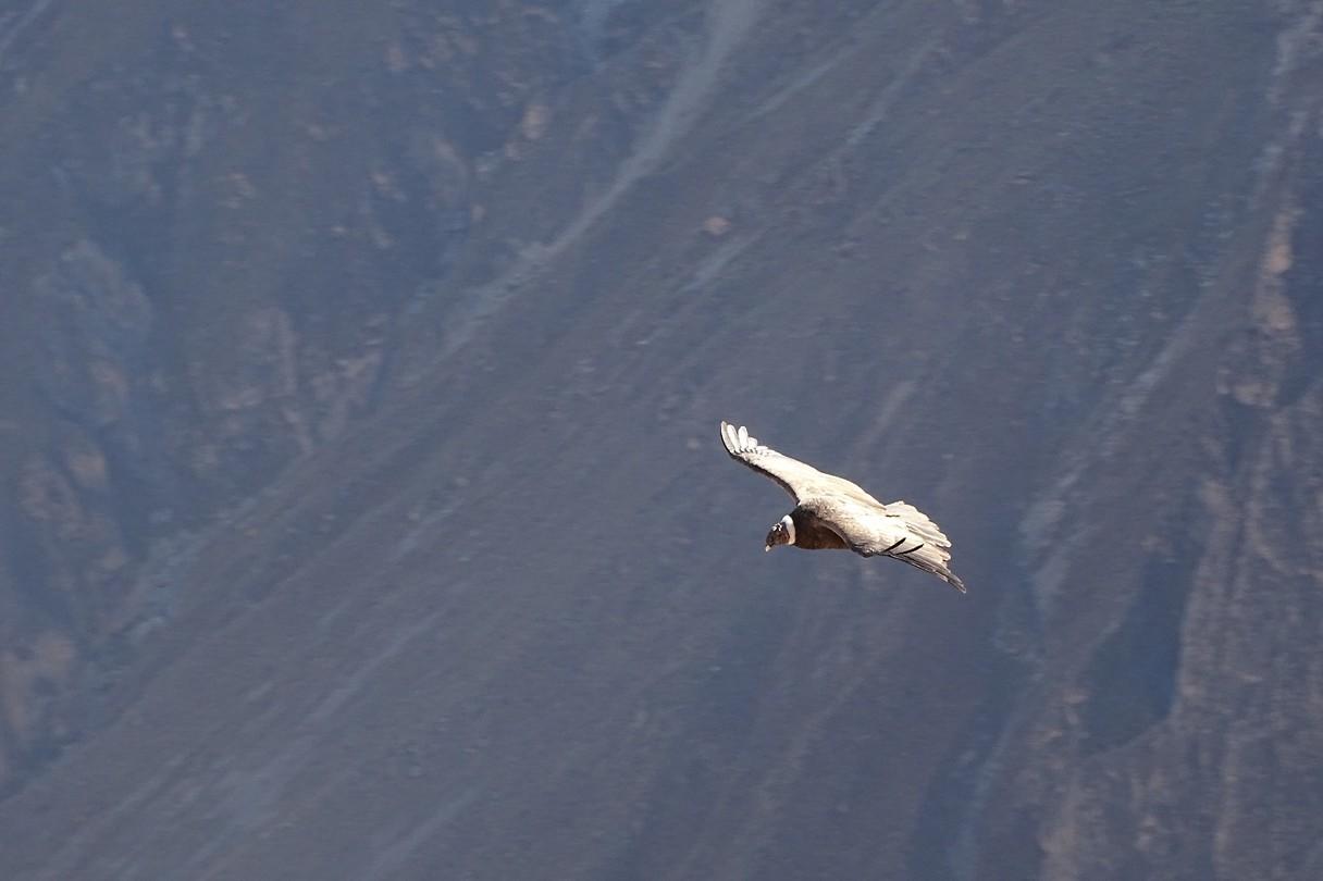 374 zie je de witte kraag van deze condor