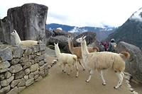 426 lama's in Machu Picchu
