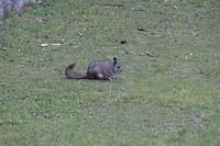 430 chinchilla op het gras van Machu Picchu