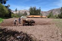 445 veel boeren ploegen hun land nog met ossen